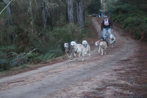 Siberian Husky Club of NSW sledding pics