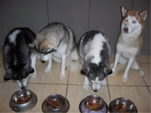Siberian Husky Club of NSW archived members pics
