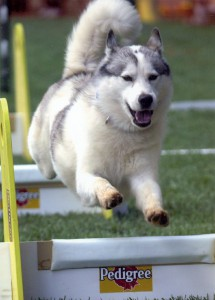 A Siberian Husky doing flyball