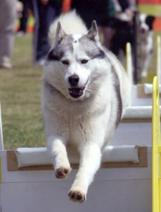 A Siberian Husky in a Flyball event